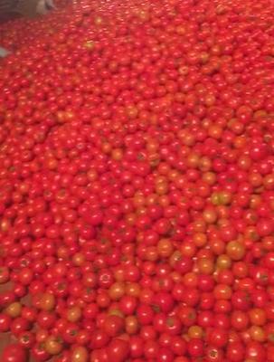 云南省红河哈尼族彝族自治州泸西县瑞星西红柿 不打冷 硬粉 弧三以上