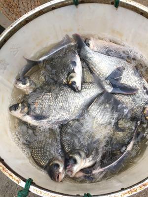 浙江省杭州市建德市池塘鳊鱼 人工养殖 1-1.5公斤