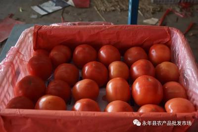 河北省邯郸市永年县硬粉番茄 不打冷 硬粉 通货