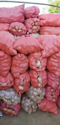 云南省红河哈尼族彝族自治州个旧市合作88号土豆 统货
