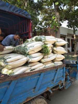 甘肃省兰州市榆中县白萝卜 3.5~4斤