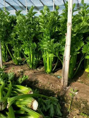 辽宁省锦州市黑山县西芹 55~60cm 大棚种植 2.5~3.0斤