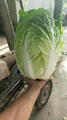 河南省开封市通许县大白菜 6~10斤 净菜