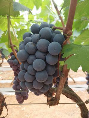 云南省红河哈尼族彝族自治州弥勒市夏黑葡萄 5%以下 1次果 1-1.5斤