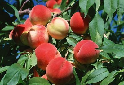 这是一张关于胭脂脆桃 55mm以上 3 - 4两的产品图片