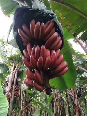 红香蕉 八成熟
