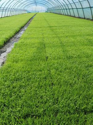 天津西青区东北大米 非有机大米 早稻 一等品
