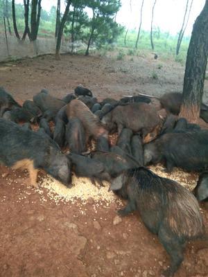 湖南省永州市蓝山县藏香猪 60斤以上