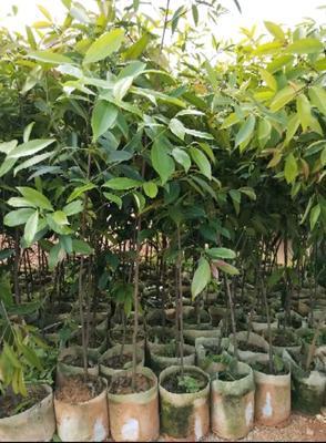 这是一张关于山竹树苗的产品图片