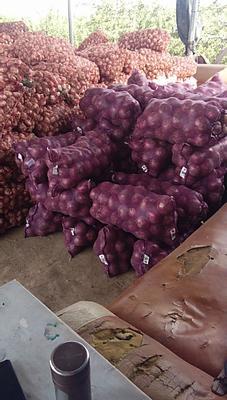 山西省临汾市曲沃县红皮洋葱 6~8cm 红皮 4两以上