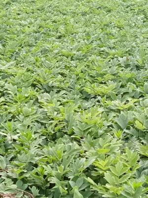 河南省周口市郸城县油用牡丹种苗 12~14cm 4cm以下 0.5米以下