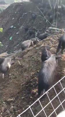 湖南省郴州市嘉禾县藏香猪 60斤以上