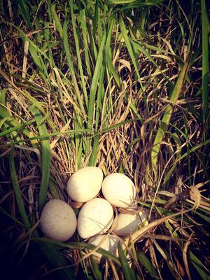 江西省宜春市樟树市火鸡蛋 食用 简包装