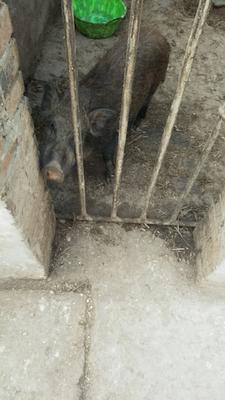 特种野猪 30-40斤 统货