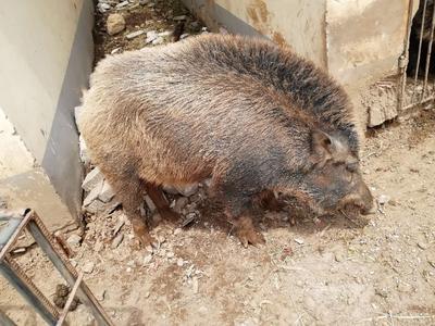 内蒙古自治区兴安盟科尔沁右翼中旗特种野猪 100斤以上 统货