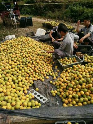 广西壮族自治区桂林市永福县龙江罗汉果 2 - 3两