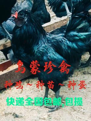 云南省昭通市盐津县乌骨鸡种蛋 孵化 箱装