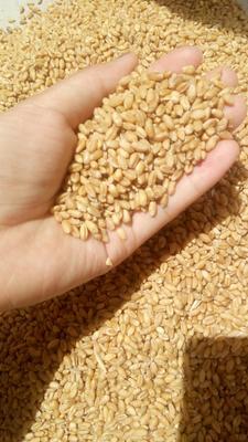 河南省新乡市延津县混合小麦