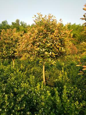 这是一张关于红叶石楠的产品图片
