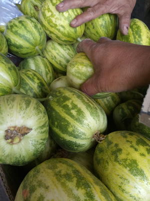 辽宁省锦州市北镇市金典甜瓜 0.5斤以上