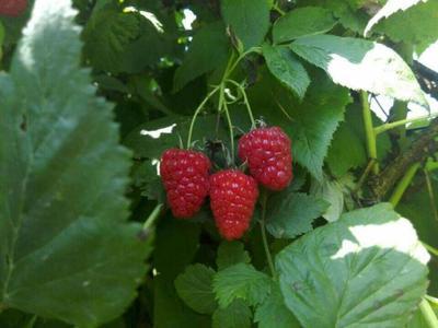 山西省临汾市安泽县红树莓 鲜果