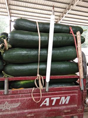 这是一张关于黑皮冬瓜 25斤以上 黑皮的产品图片