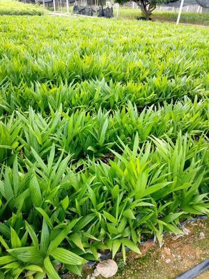这是一张关于槟榔种子的产品图片