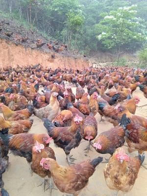贵州省黔东南苗族侗族自治州天柱县瑶鸡 统货 3-4斤