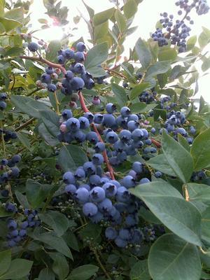 这是一张关于蓝金蓝莓 鲜果 15mm以上的产品图片
