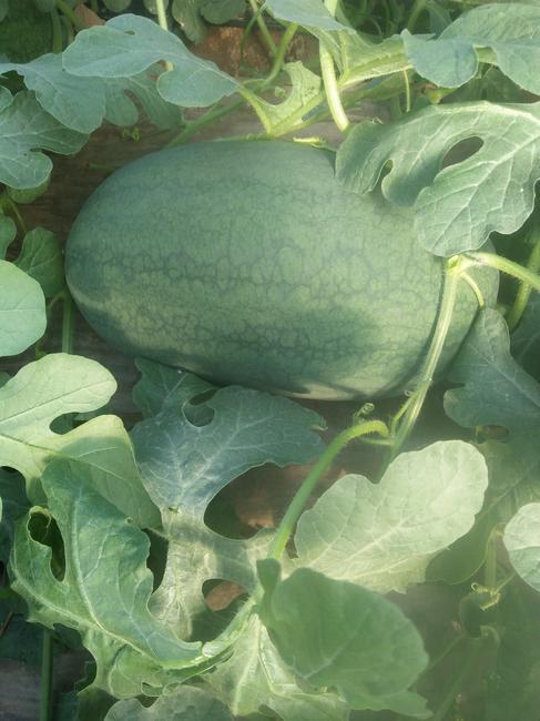 丰乐一号 有籽 1茬 9成熟 8斤打底