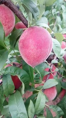 这是一张关于红桃 55mm以上 3 - 4两的产品图片