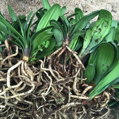 这是一张关于君子兰盆栽的产品图片