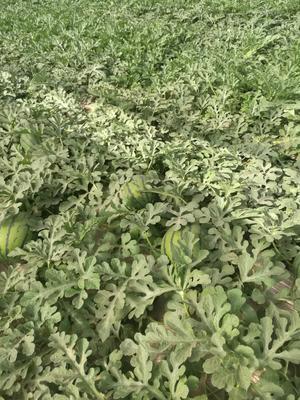 这是一张关于甜王西瓜 有籽 1茬 8成熟 10斤打底的产品图片