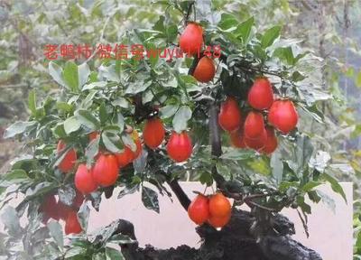 江苏省扬州市江都区金弹子 6~8公分