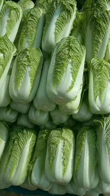 河北省保定市定州市北京新三号白菜 3~6斤 净菜