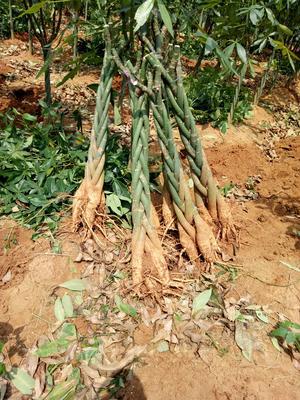 广西壮族自治区北海市合浦县辫子发财树
