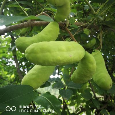 重庆武隆县紫色一号八月瓜 种植 500.0g