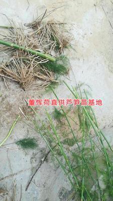 山东省菏泽市巨野县芦笋种子