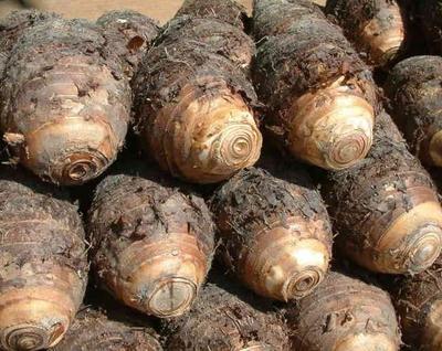 江西省抚州市南丰县槟榔芋 5cm以上
