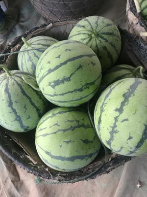 麒麟西瓜 有籽 1茬 9成熟 8斤打底