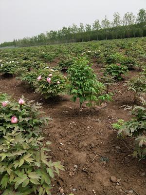 山东省菏泽市牡丹区牡丹花苗 2cm以下 4cm以下 0.5米以下