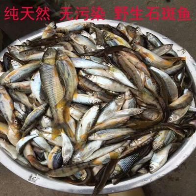 江西省赣州市上犹县淡水石斑 野生 1-1.5龙8国际官网官方网站
