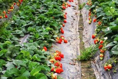 云南省曲靖市会泽县双流冬草莓 30克以上