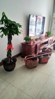 广西壮族自治区北海市合浦县发财靓树