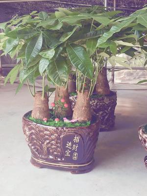广东省广州市荔湾区盆栽发财树