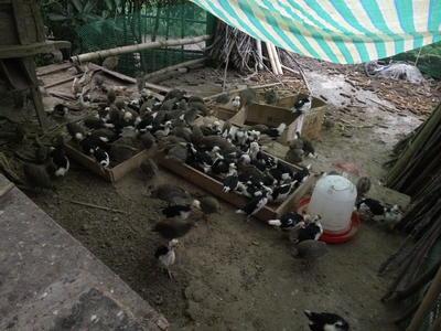 四川省达州市达川区灰色珍珠鸡 2-4斤