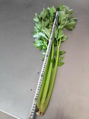 山东省德州市德城区西芹 55~60cm 大棚种植 0.5斤以下