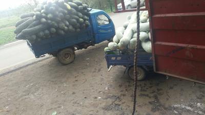 湖北省武汉市新洲区青皮冬瓜 15斤以上 黑皮