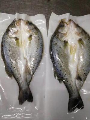 广东省珠海市金湾区海鲈鱼 人工养殖 1-1.5公斤