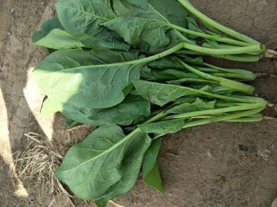 内蒙古自治区乌兰察布市兴和县大叶菠菜 25~30cm
